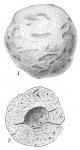 Crithionina pisum