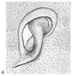Globobulimina auriculata f. gullmarensis