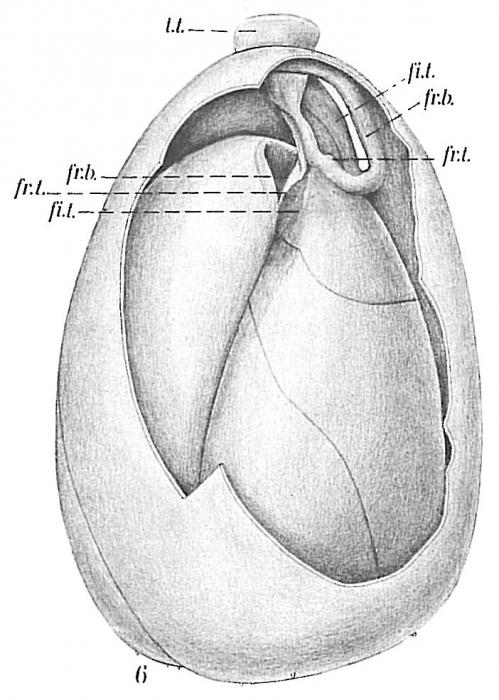 Globobulimina sp.