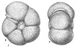 Haplophragmoides bradyi