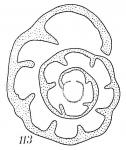 Haplophragmoides pusillum