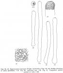 Hyperammina laevigata