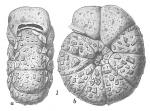 Labrospira crassimargo