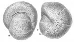 Labrospira subglobosa, author: Cedhagen, Tomas