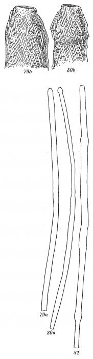 Marsipella spiralis