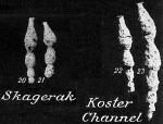 Reophax rostrata