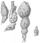 Reophax subfusiformis