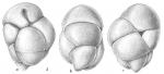 Robertinoides normani