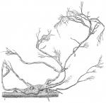 Saccodendron heronalleni