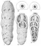 Siphogenerina dimorpha