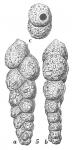 Textularia cochleata