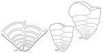 Textularia truncata
