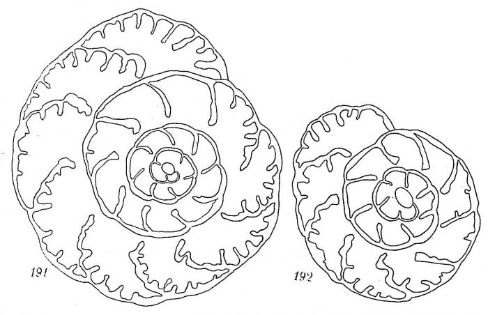 Trochammina (Remaneica) helgolandica
