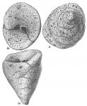 Valvulina conica