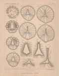 Van Beneden (1897, pl. 04)