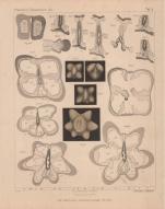 Van Beneden (1897, pl. 10)