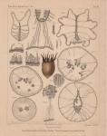 Van Beneden (1897, pl. 13)