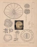 Van Beneden (1897, pl. 14)