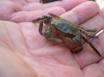 Japanese shore crab Hemigrapsus sanguineus