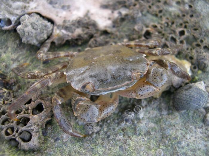 Hemigrapsus sanguineus