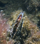 Mytilicola intestinalis
