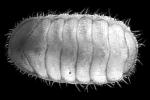 Holotype of L. muelleri Sirenko & Schwabe, 2011