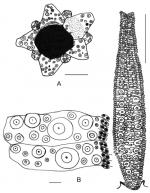 Cuscuzispina riachuelensis