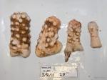Hormathia nodosa - 4 sizes