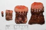 Actinauge cristata (4 sizes)