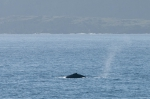 Humpback whale - dorsal fin