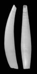 Gadila celtica Scarabino & Scarabino, 2011. Holotype MNHN 24338