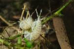 Dikerogammarus villosus