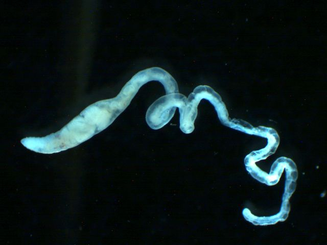 Tubificoides heterochaetus habitus