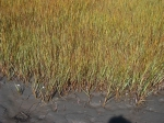 Spartina alterniflora (marsh grass)