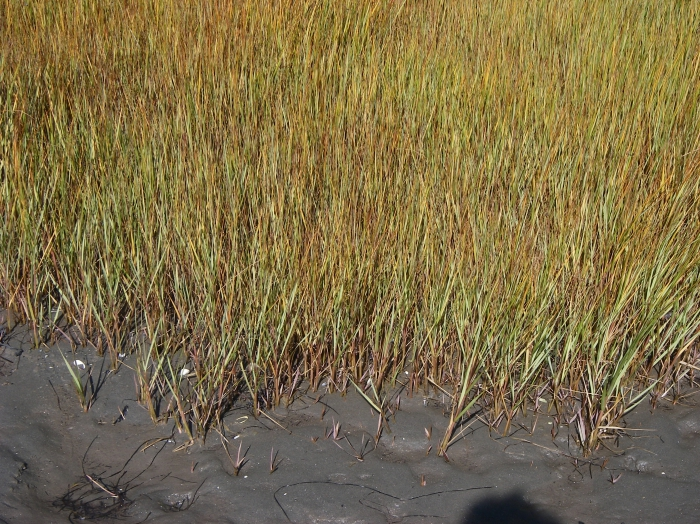 Spartina alterniflora (marsh grass)