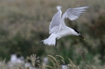 Sandwich Tern (Sterna sandvicensis)
