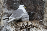 Kittiwake (Rissa tridactyla)