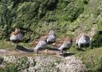 Dunlin (Calidris alpina)