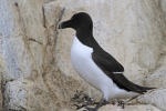 Razorbill (Alca torda)