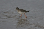 Redshank (Tringa totanus)