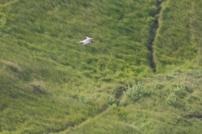Peregrine (Falco peregrinus)