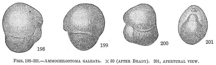 Ammochilostoma galeata