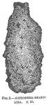 Astrorhiza granulosa, author: Cedhagen, Tomas