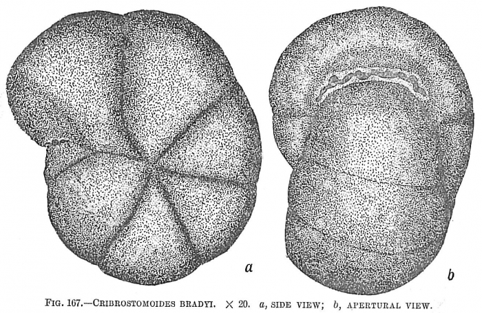 Cribrostromoides bradyi