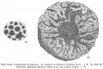Crithionina rotundata