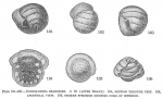 Gordiammina charoides