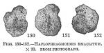 Haplophragmoides emaciatum