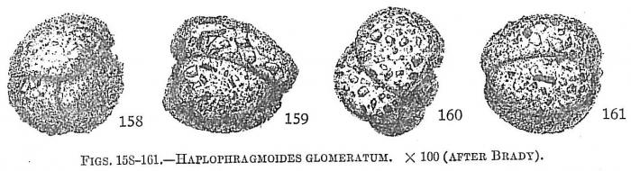 Haplophragmoides glomeratum