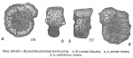 Haplophragmoides rotulatum