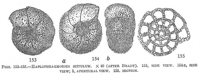 Haplophragmoides scitulum